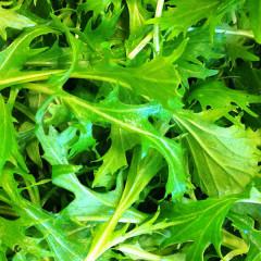 Baby Leaf Mustards