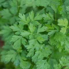 Parsley - Curly and Flat/Italian